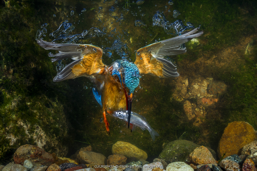 kingfisher hunting a fish underwater