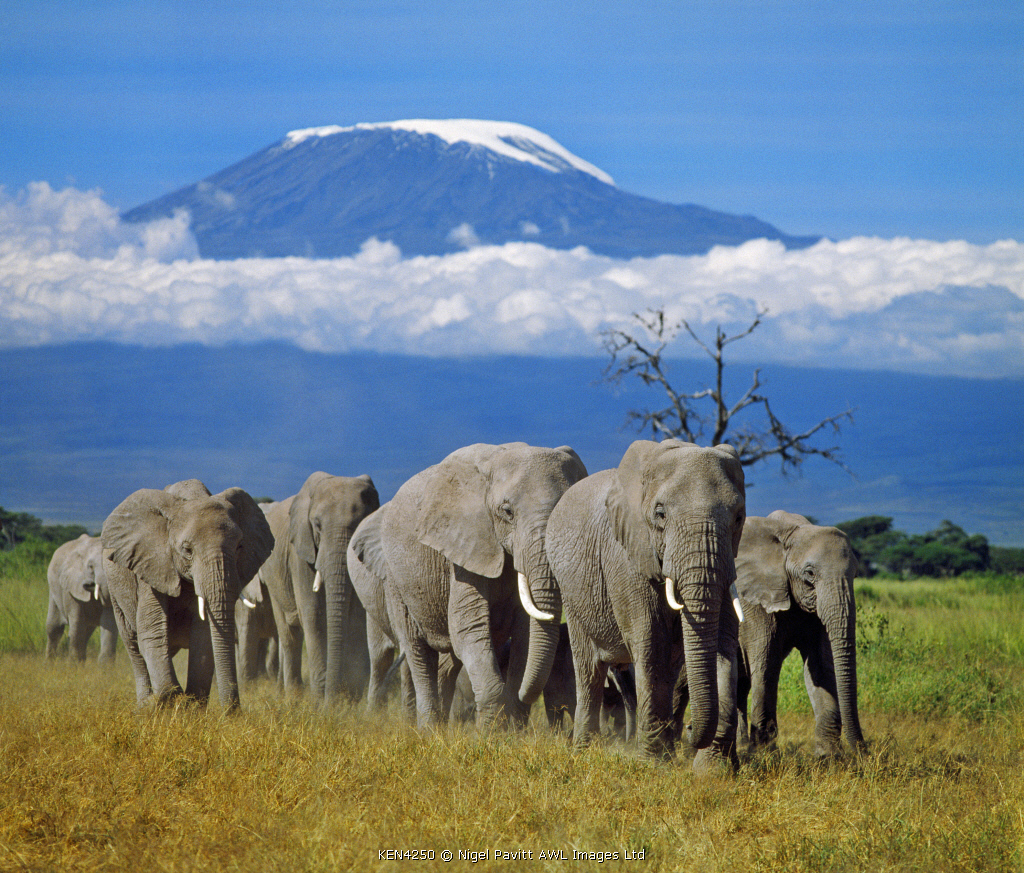 A herd of elephants with Mount Kilimanjaro in the background.